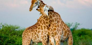 Animales Animales Homosexualidad y bisexualidad están presentes en el mundo animal