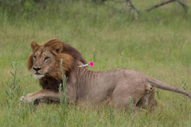 Transexsual Transexsual Leonas con melena que rugen y montan a hembras, las leonas 'transexuales' de Botswana