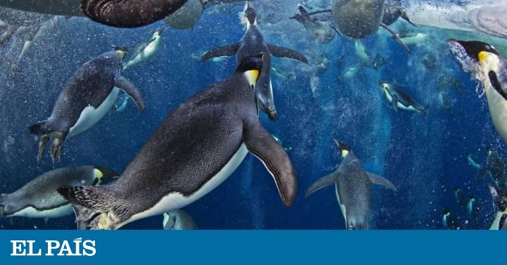 Animales Animales La mayor reserva marina del mundo, declarada en la Antártida