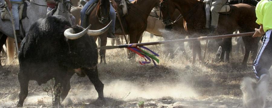 Animales Animales El Tribunal Constitucional tumba el intento de Tordesillas de recuperar el Toro de la Vega