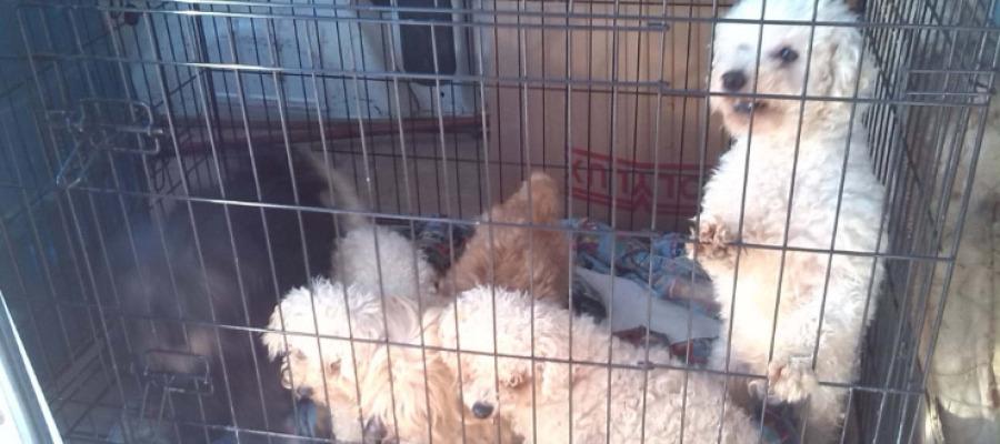 Animales Animales Denunciado un hombre en Barcelona por mutilar las cuerdas vocales a sus perros para que no ladraran